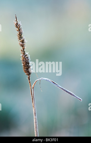 Frosty dried dead grass stem in the English countryside. UK - Stock Photo