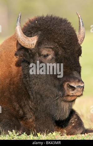 North American plains bison, Bison bison bison, Wind Cave National Park, South Dakota, USA - Stock Photo