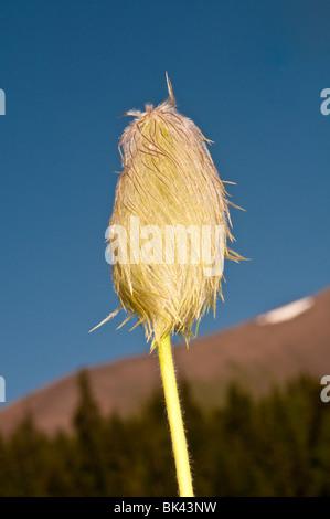 Achene of Western anemone, Anemone occidentalis, Chester Lake trail, Peter Lougheed Provincial Park, Kananaskis, - Stock Photo