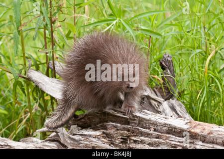 Baby North American porcupine, Erethizon dorsatum, Minnesota, USA - Stock Photo