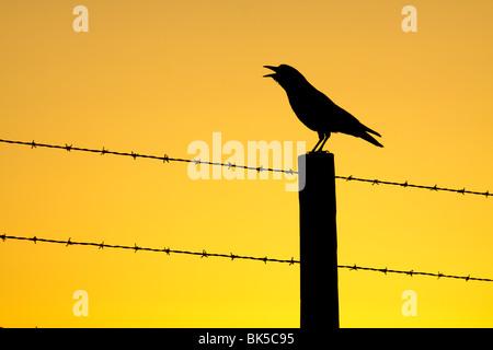 American crow calling from fencepost at sunrise-Piedras Blancas, California, USA. - Stock Photo