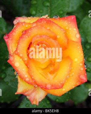 Macro photo of colourful pink, yellow and red rose with rain drops against green foliage - Stock Photo