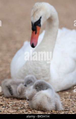Mute swan with cygnets (Cygnus olor), Abbotsbury Swannery, Dorset, England, United Kingdom, Europe - Stock Photo