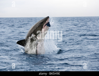 Great white shark (Carcharodon carcharias), breaching to decoy, Seal Island, False Bay, Cape Town, South Africa, - Stock Photo