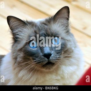Cute Ragdoll cat with piercing blue eyes - Stock Photo