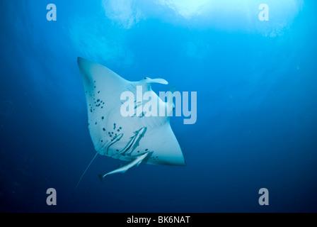 Manta ray, manta birostris, South Africa - Stock Photo