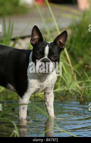 standing Boston Terrier - Stock Photo