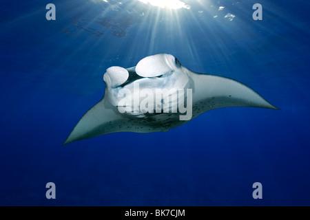 Manta ray, Manta birostris, swimming with sun rays, Kailua-Kona, Big Island, Hawaii - Stock Photo