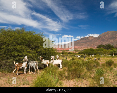 A large group of goat eating from the nature. - Stock Photo