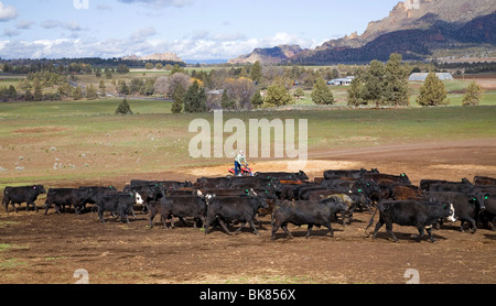 A modern cowboy on an ATV All Terrain Vehicle rounds up a herd of cattle for branding on a large cattle ranch in - Stock Photo