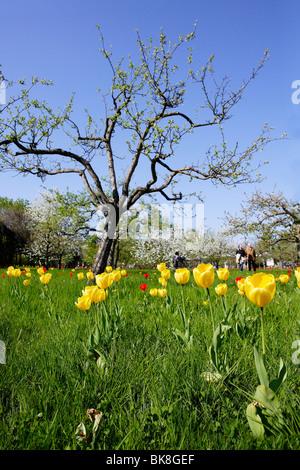 Yellow tulips (Tulipa) during Tulipan, tulips bloom in the Britzer Garten park in Berlin, Germany, Europe - Stock Photo