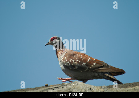 Speckled Pigeon Columba guinea - Stock Photo