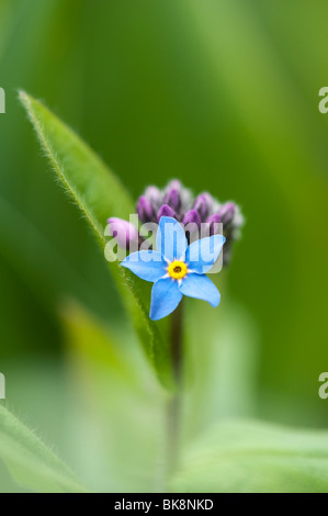 Myosotis sylvatica. Forget-me-not flower - Stock Photo