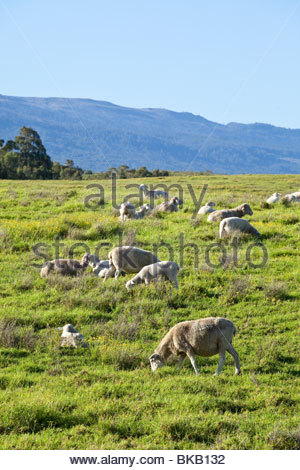 Sheep ranching upcountry on the island of Maui in the State of Hawaii USA - Stock Photo
