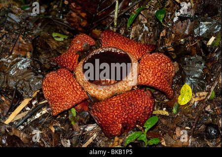 Rafflesia arnoldii in bloom, Ranau, Sabah, Malaysia - Stock Photo