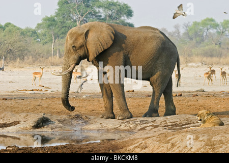 African Elephant and lion - Stock Photo