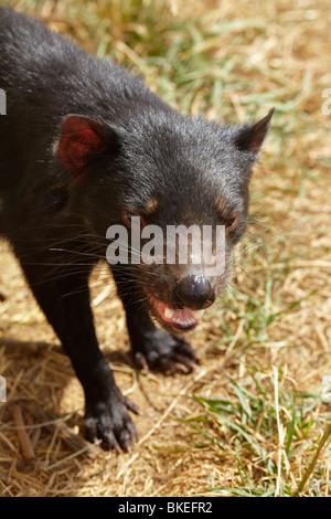 Tasmanian Devil (Sarcophilus harrisii) ,Tasman Peninsula, Southern Tasmania, Australia - Stock Photo