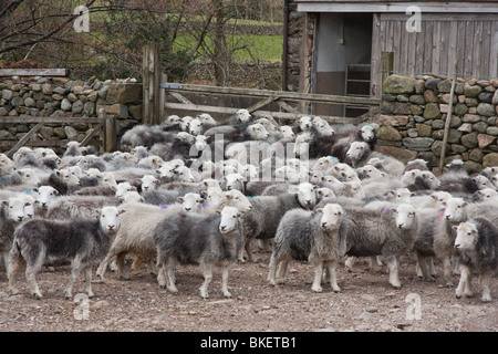 Flock of young Herdwick sheep in farmyard - Stock Photo