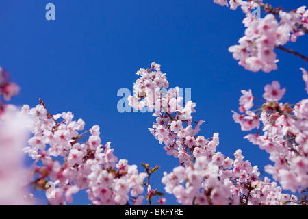 Cherry blossoms full-bloomed - Stock Photo