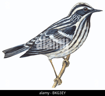 Black-and-White warbler - Stock Photo