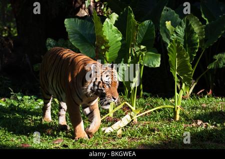 Captive Malayan tiger (Panthera tigris malayensis) - Stock Photo