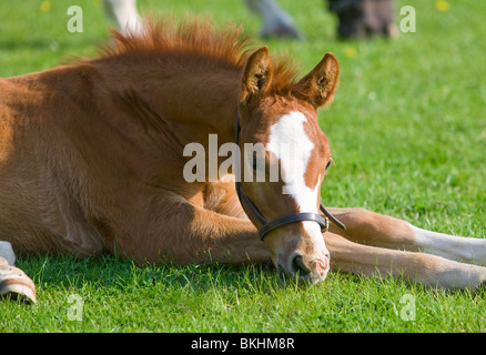 young foal lying down on the grass . - Stock Photo