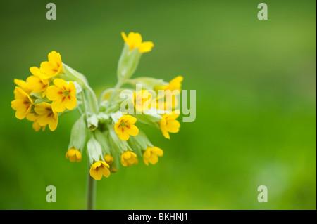 Primula veris. Cowslip flower in the grass - Stock Photo