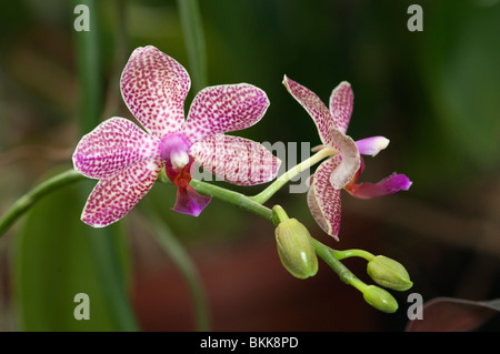 Butterfly Orchid (Phalaenopsis hybrid Schampus), flowers. - Stock Photo