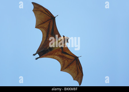 Flying Fox (Pteropus giganteus) flying in Sri Lanka - Stock Photo