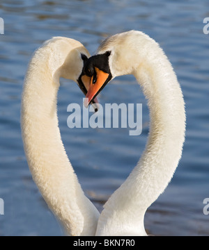 Swans Courting 4 - Stock Photo