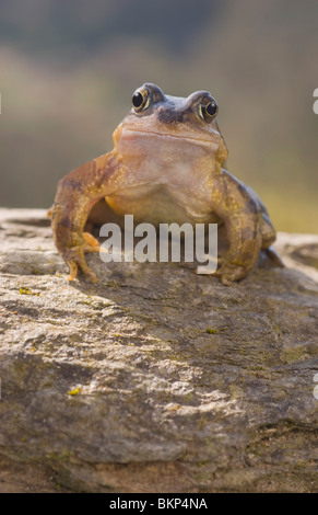 Common frog on stone - Stock Photo