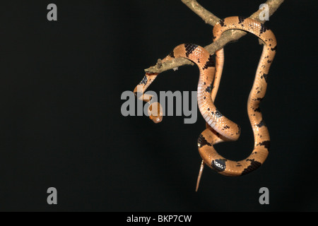 photo of a brightly coloured common tiger snake in a tree taken at night - Stock Photo