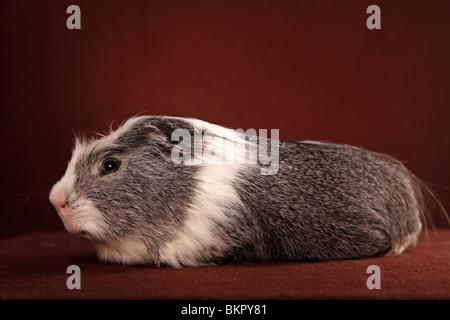 Cuy - Riesenmeerschwein - Stock Photo