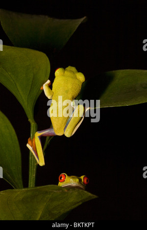 Two red-eyed tree frogs - Stock Photo