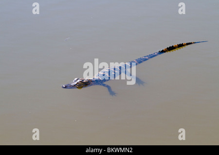 A young North American alligator hanging in water. - Stock Photo