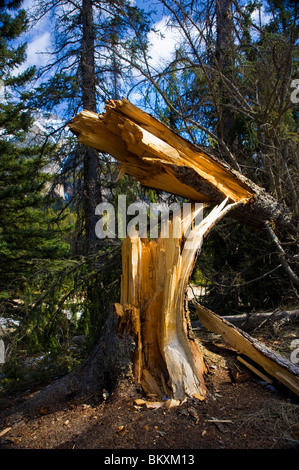 A large spruce tree blown over and broken off - Stock Photo