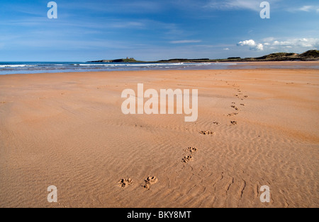 Dog pawprints and Dunstanburgh Castle viewed from Embleton Bay - Stock Photo