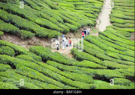 Tourists walking in a tea plantation, BOH Sungai Palas Tea Estate, Cameron Highlands, Perak state, Malaysia, Southeast - Stock Photo