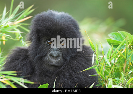 Mountain Gorilla Beringei young baby gorilla playing in bamboo forest in Parc Nationale des Volcans Rwanda Central - Stock Photo