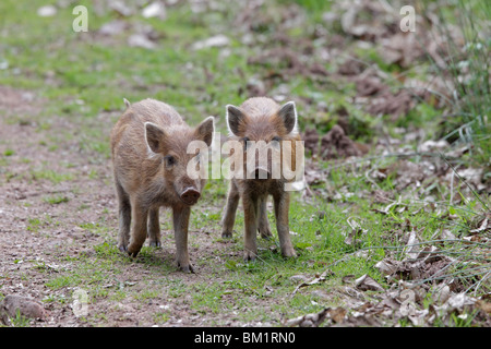 Two Wild Boar piglets in the Forest of Dean - Stock Photo