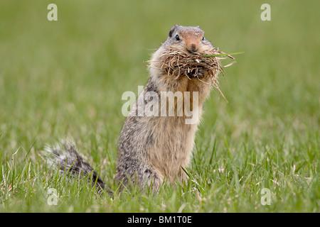 Columbian ground squirrel (Citellus columbianus) with nesting material, Manning Provincial Park, British Columbia, - Stock Photo