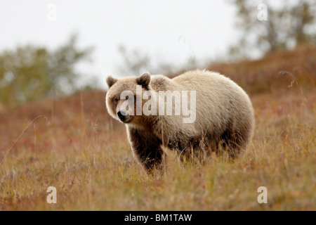 Grizzly bear (Ursus horribilis) in the fall, Denali National Park and Preserve, Alaska, United States of America, - Stock Photo