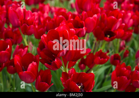 A close-up of blooming Red Georgette tulips taken in Holland Michigan from above top view isolated no not people - Stock Photo