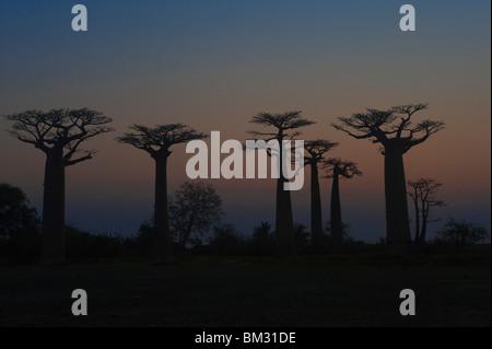 Baobabs (Adansonia Grandidieri) at sunset, Morondava, Madagascar - Stock Photo