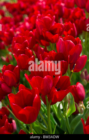 A close up of blooming Red Georgette tulips taken in Holland Michigan from above top view isolated no not people - Stock Photo