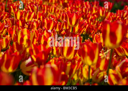 Bi-color blooming Georgette tulips field Holland Michigan from above top view isolated no not people nobody - Stock Photo