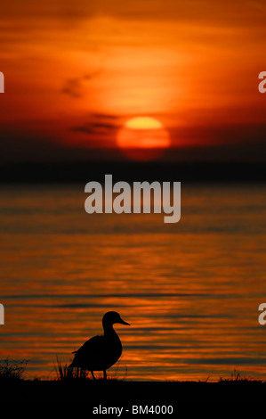 Mallard (Anas platyrhynchos). Male on edge of the water silhouetted against the setting sun. - Stock Photo