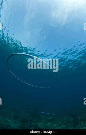 Bubble Ring made by Scuba Diver underwater, Raja Ampat, West Papua, Indonesia - Stock Photo
