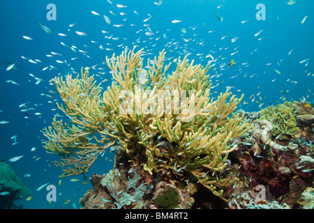 Yellow Gorgonia in Coral Reef, Dichotella gemmacea, Raja Ampat, West Papua, Indonesia - Stock Photo