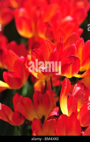 Tulipa   GEORGETTE - Stock Photo